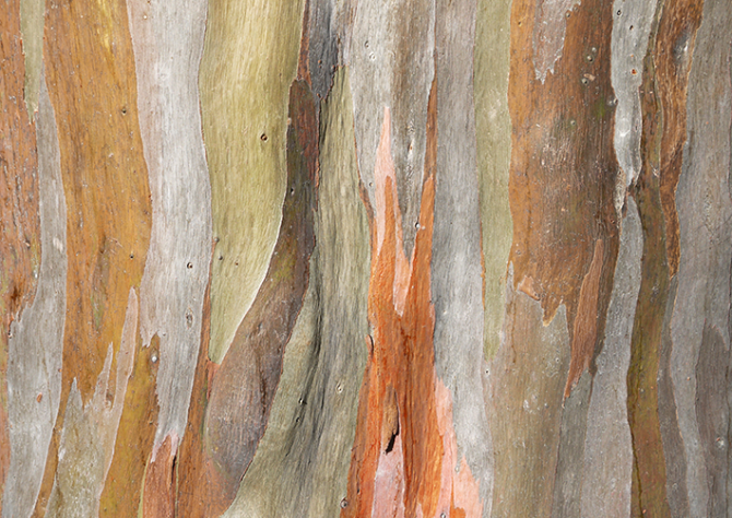 Red gum veneer tree bark