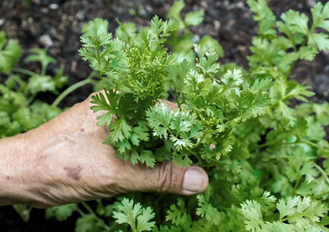 Fresh herbs in kitchen